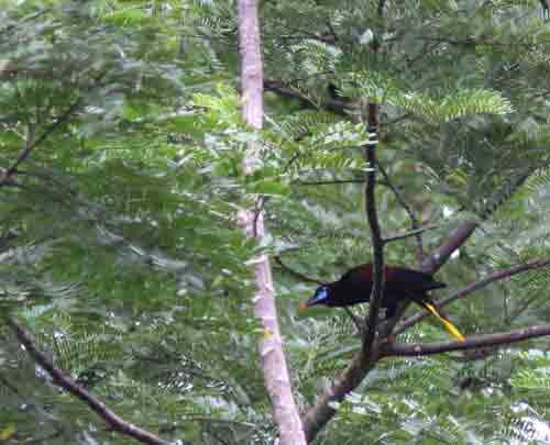 Oropendola Black, El Real, Darien, photo © Björn Anderson