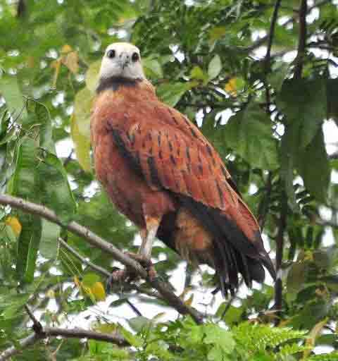 Black-collared Hawk, Tuira River -Darien, Panama- photo © Alfred Raab