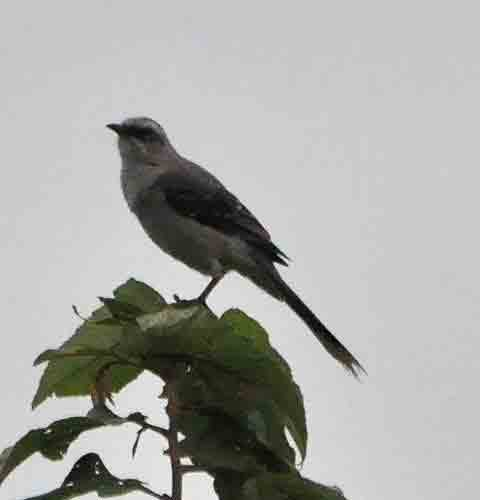 Tropical Mockingbird (Mimus gilvus). Photo  ©  Alfred Raab.El Real