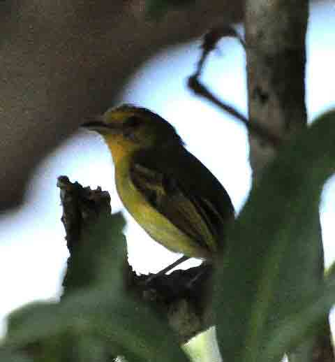 Yellow-breasted Flycatcher El Real photo © Alfred Raab