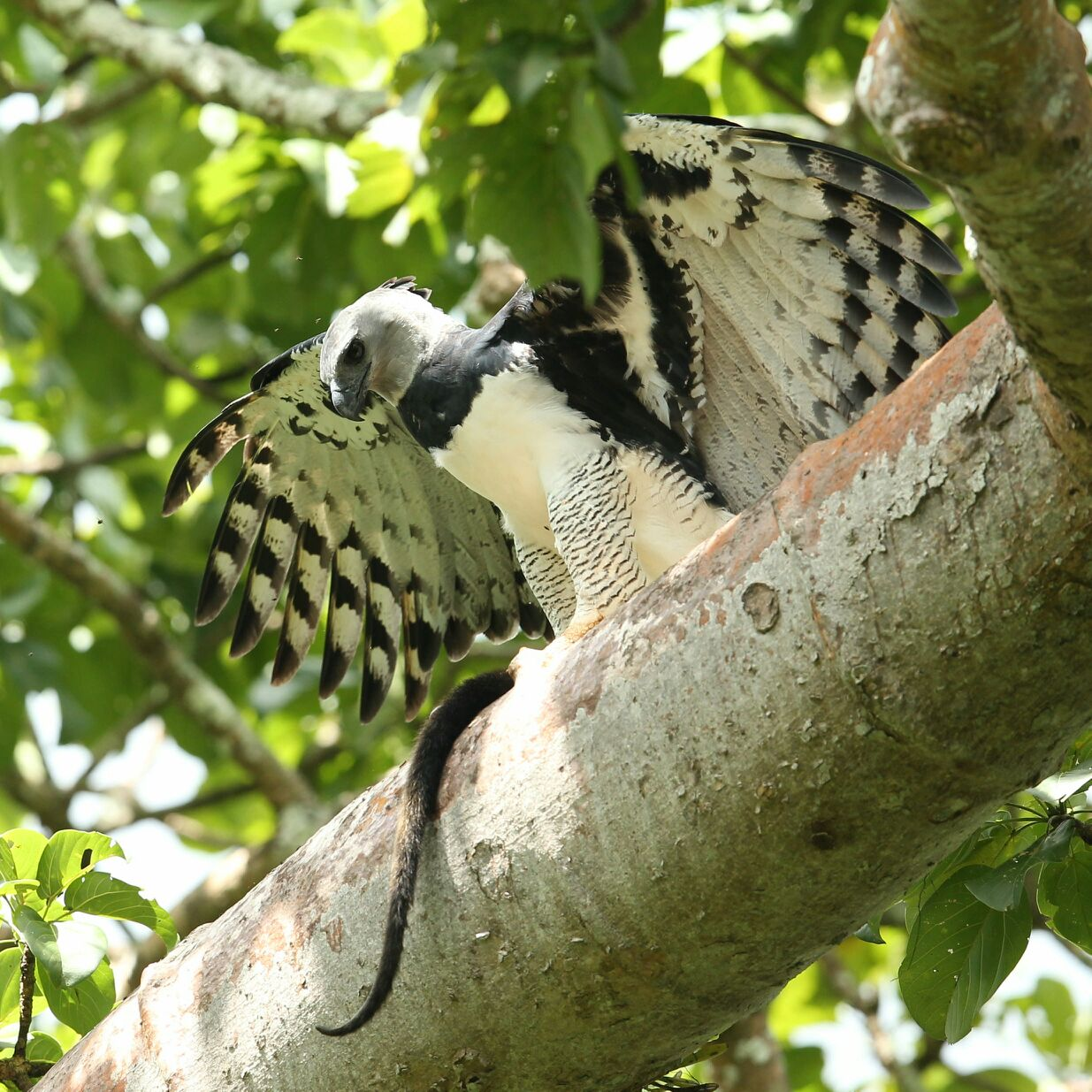 Darien Harpy Eagle Tour Panama local bird guide